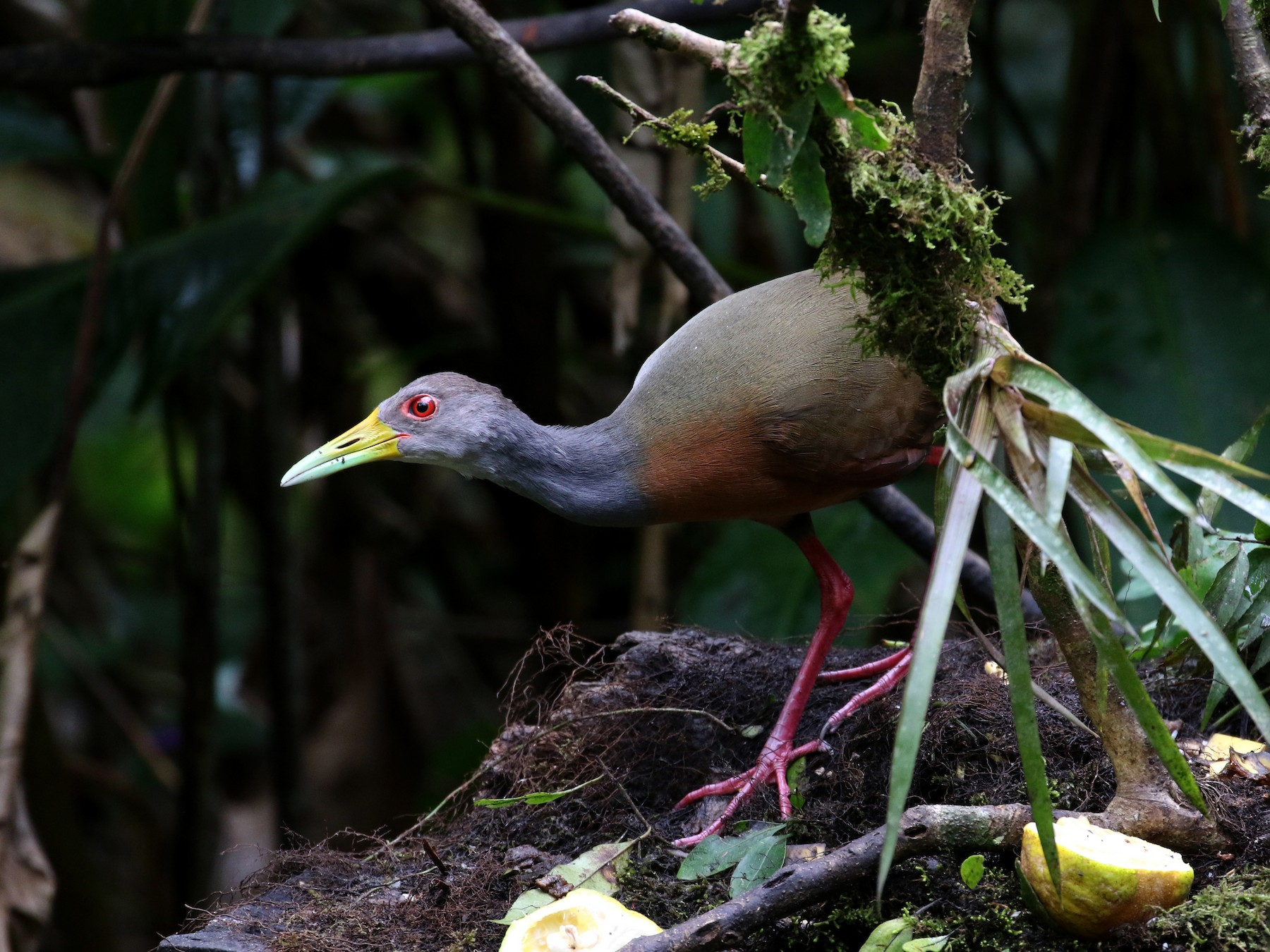 Gray-cowled Wood-Rail - Jay McGowan