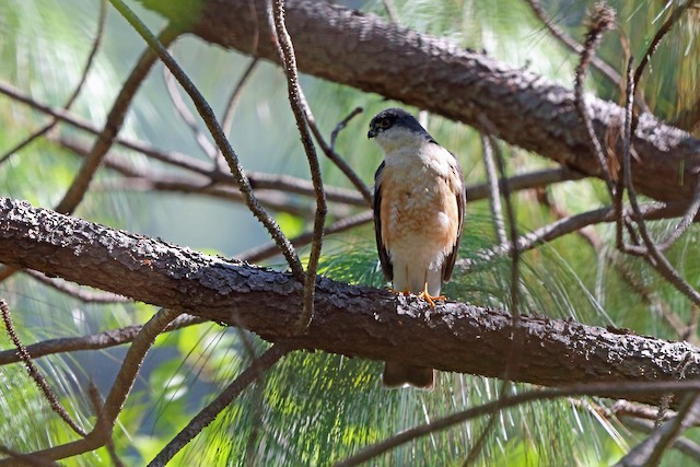 Sharp-shinned Hawk (Madrean)