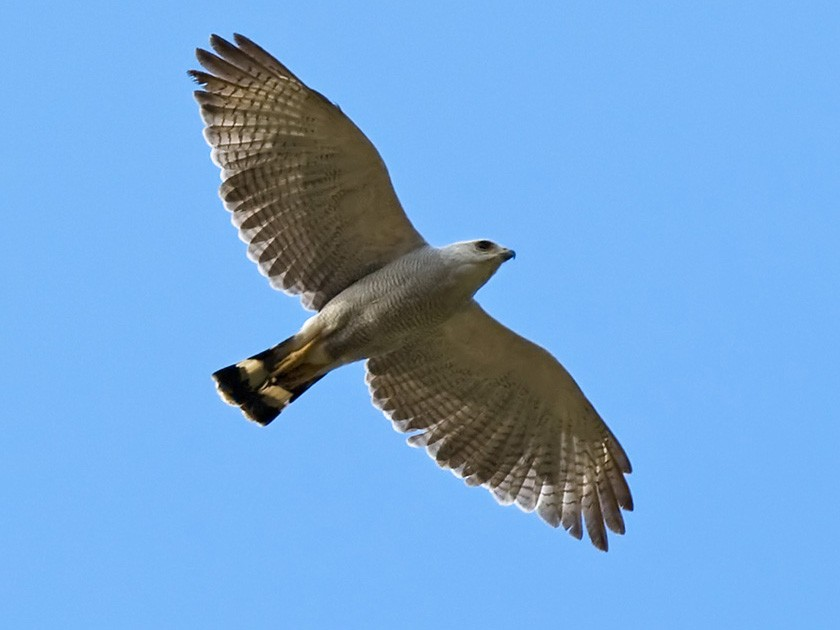 Gray-lined Hawk - Lars Petersson