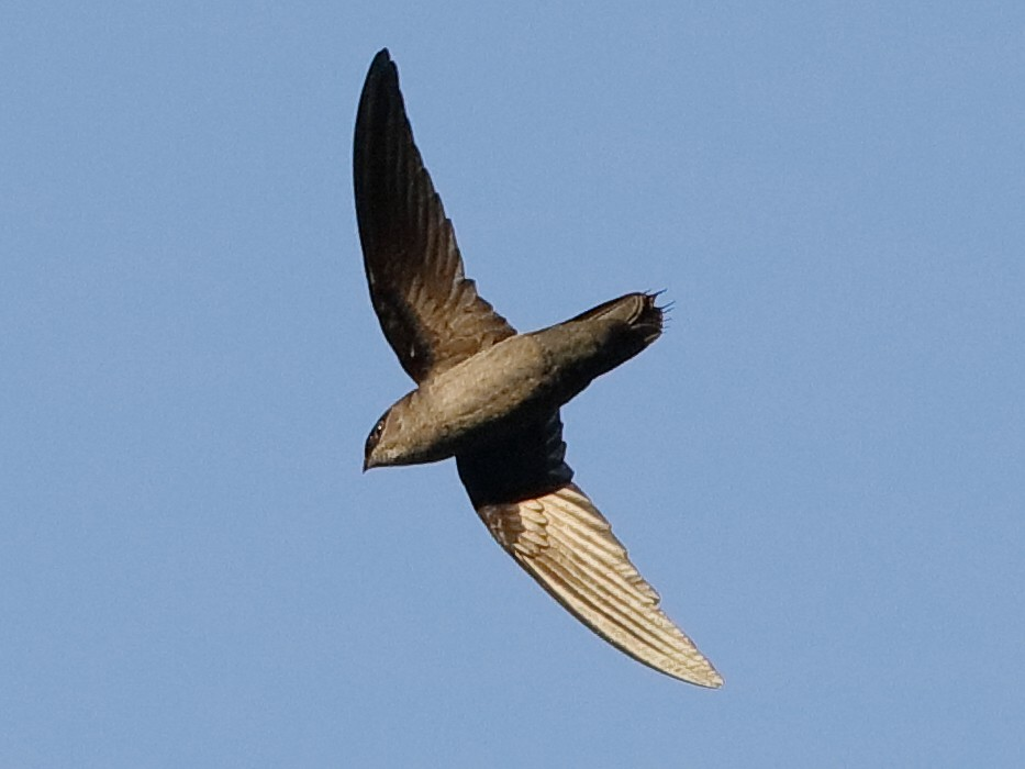 Gray-rumped Swift - Holger Teichmann