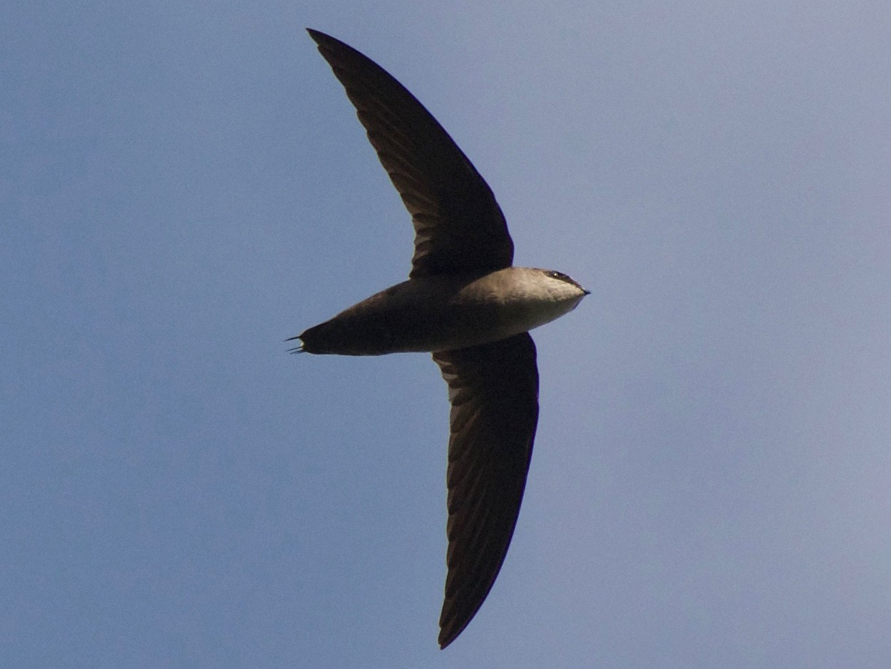 Gray-rumped Swift - Cory Gregory