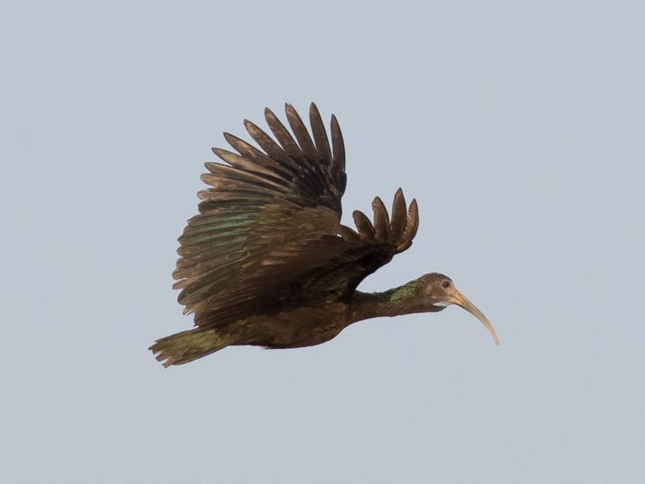Green Ibis - Tom Johnson