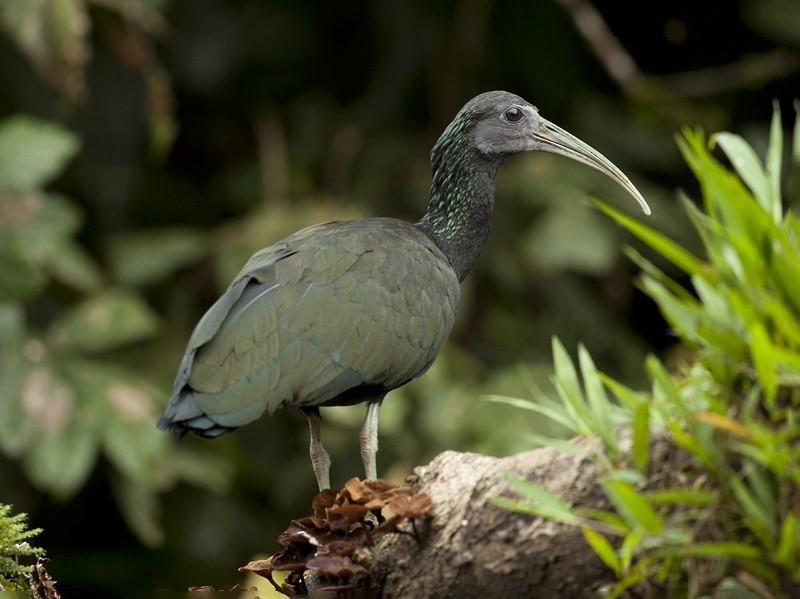 Green Ibis - Tony Palliser