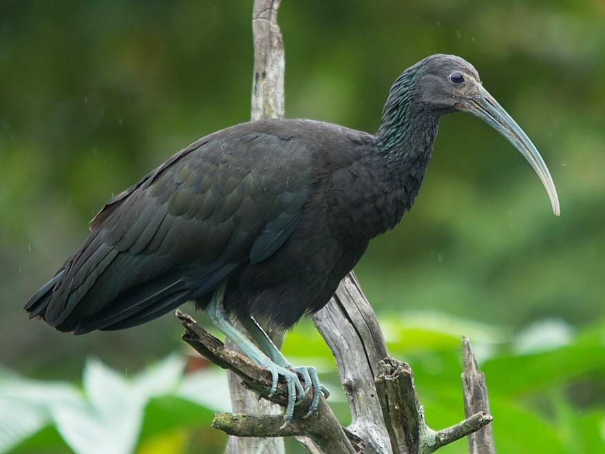 Green Ibis - LUCIANO BERNARDES
