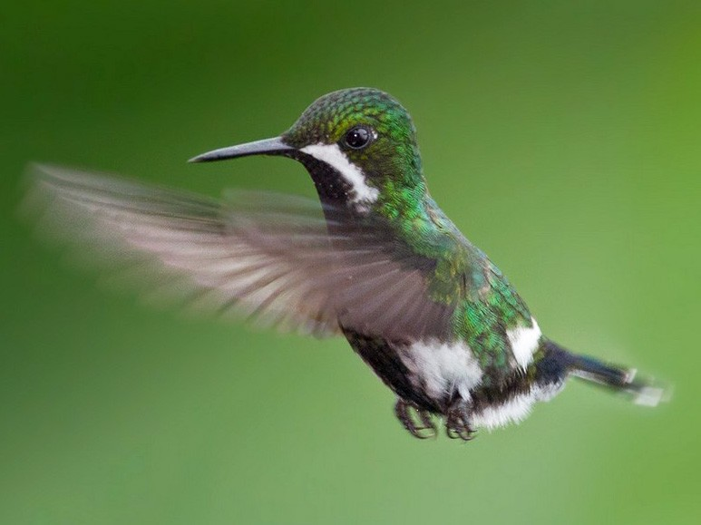 Green Thorntail - Lars Petersson