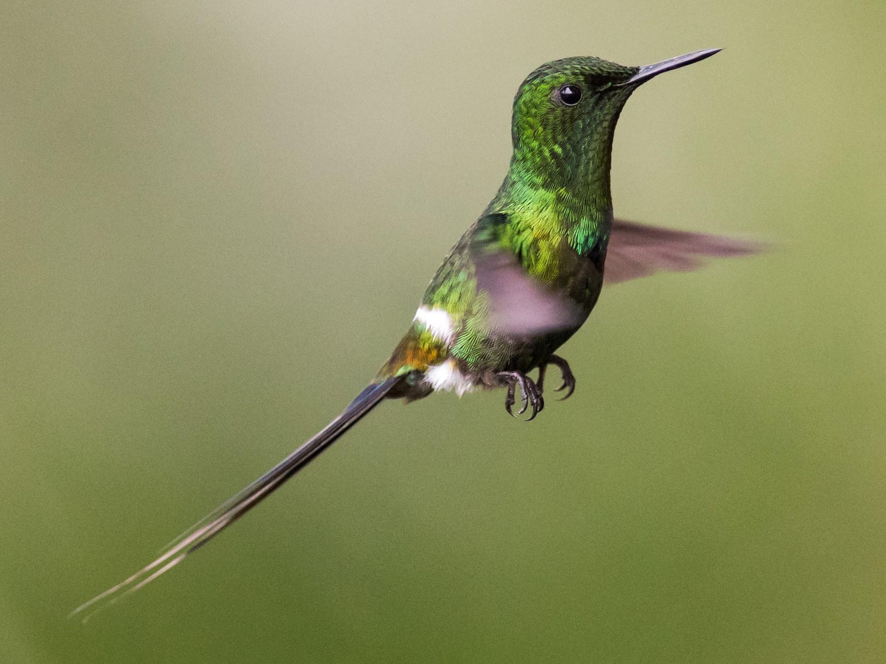 Green Thorntail - Claudia Brasileiro