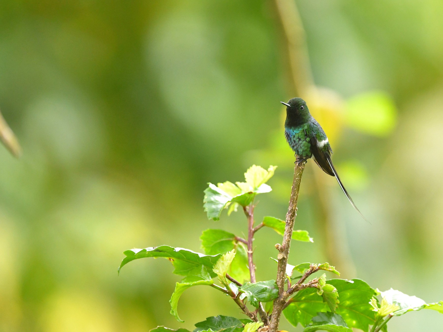 Green Thorntail - Ting-Wei (廷維) HUNG (洪)
