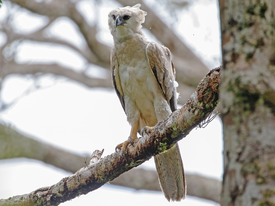 Harpy Eagle - Andy Walker - Birding Ecotours