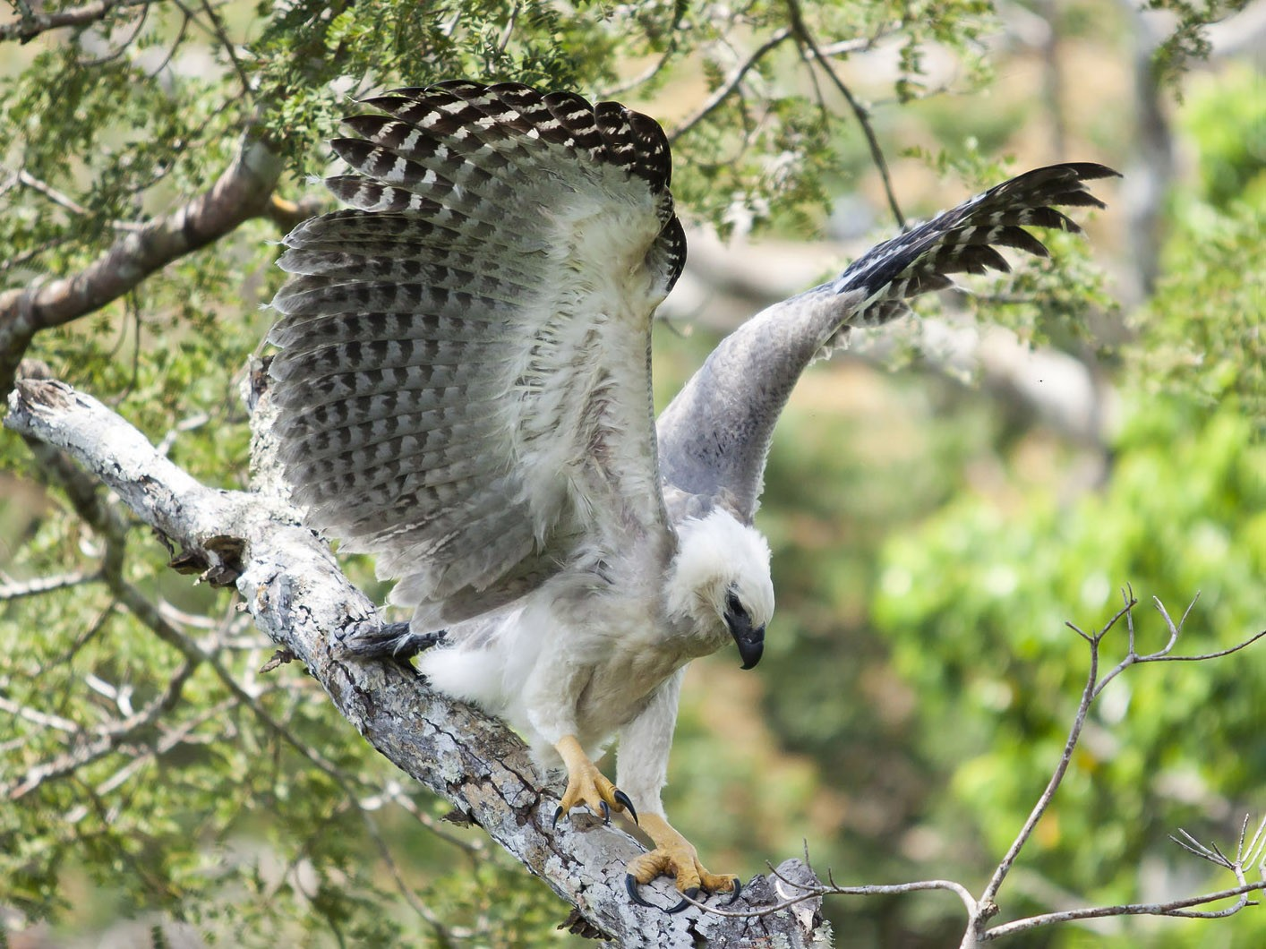 Harpy Eagle - João Marcos Rosa