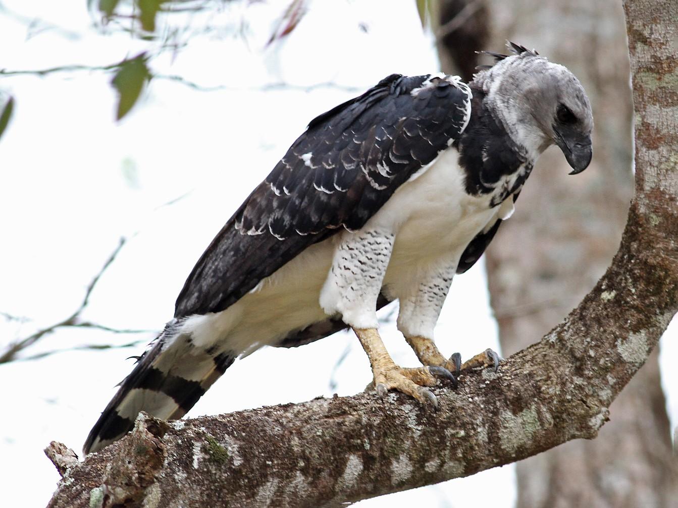Harpy Eagle - Brendan Ryan