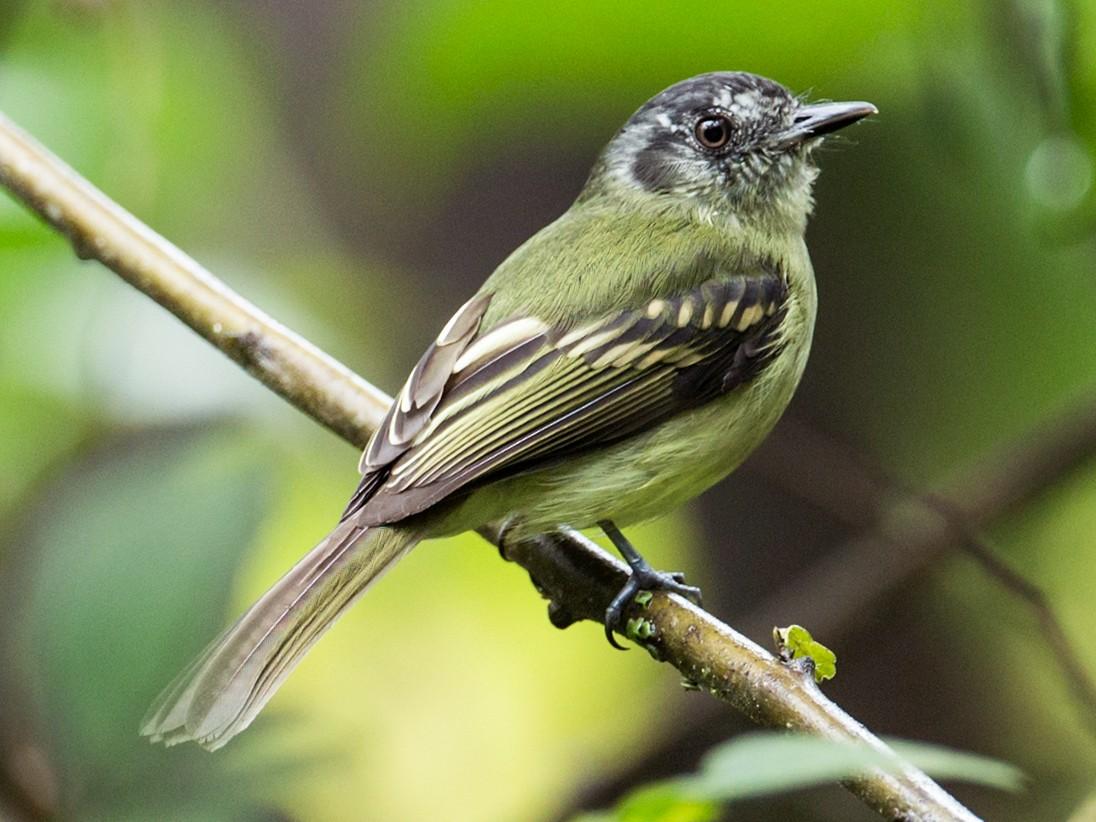 Slaty-capped Flycatcher - Nick Athanas