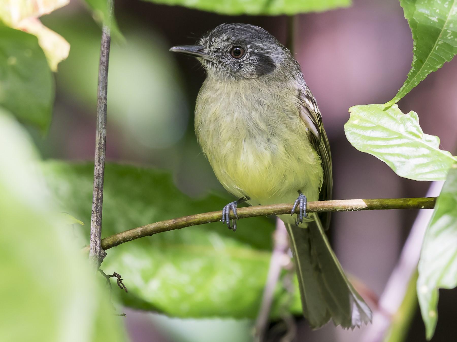 Slaty-capped Flycatcher - fernando Burgalin Sequeria