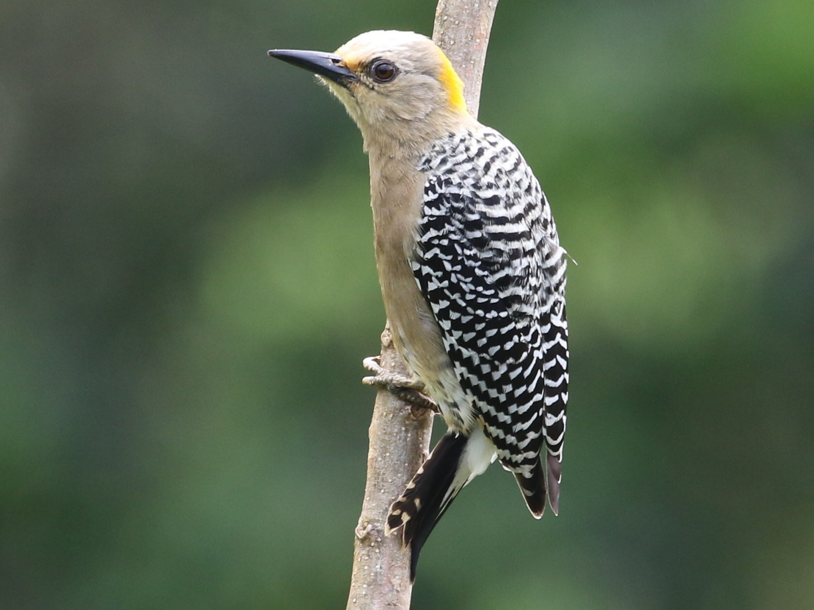 Hoffmann's Woodpecker - Carol Ortenzio