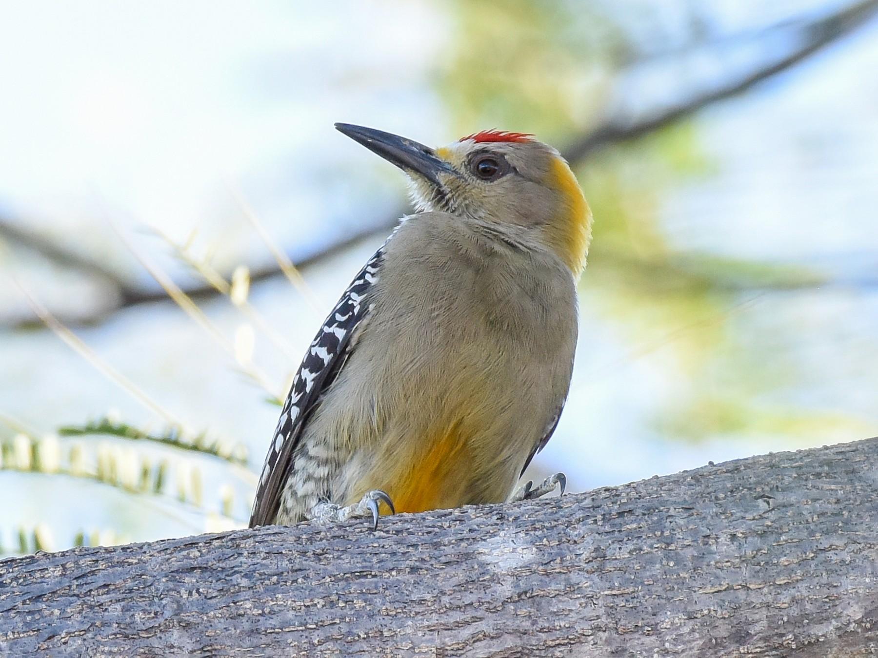 Hoffmann's Woodpecker - Erik Martin