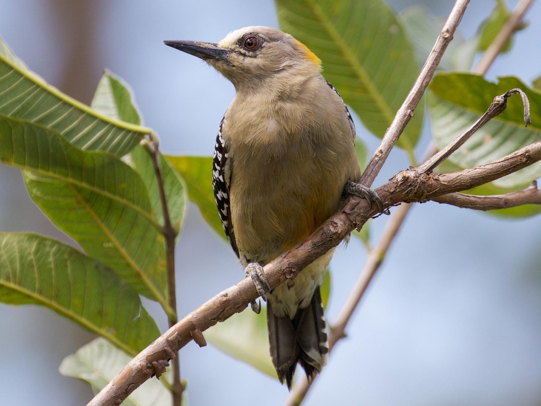Hoffmann's Woodpecker - Gates Dupont