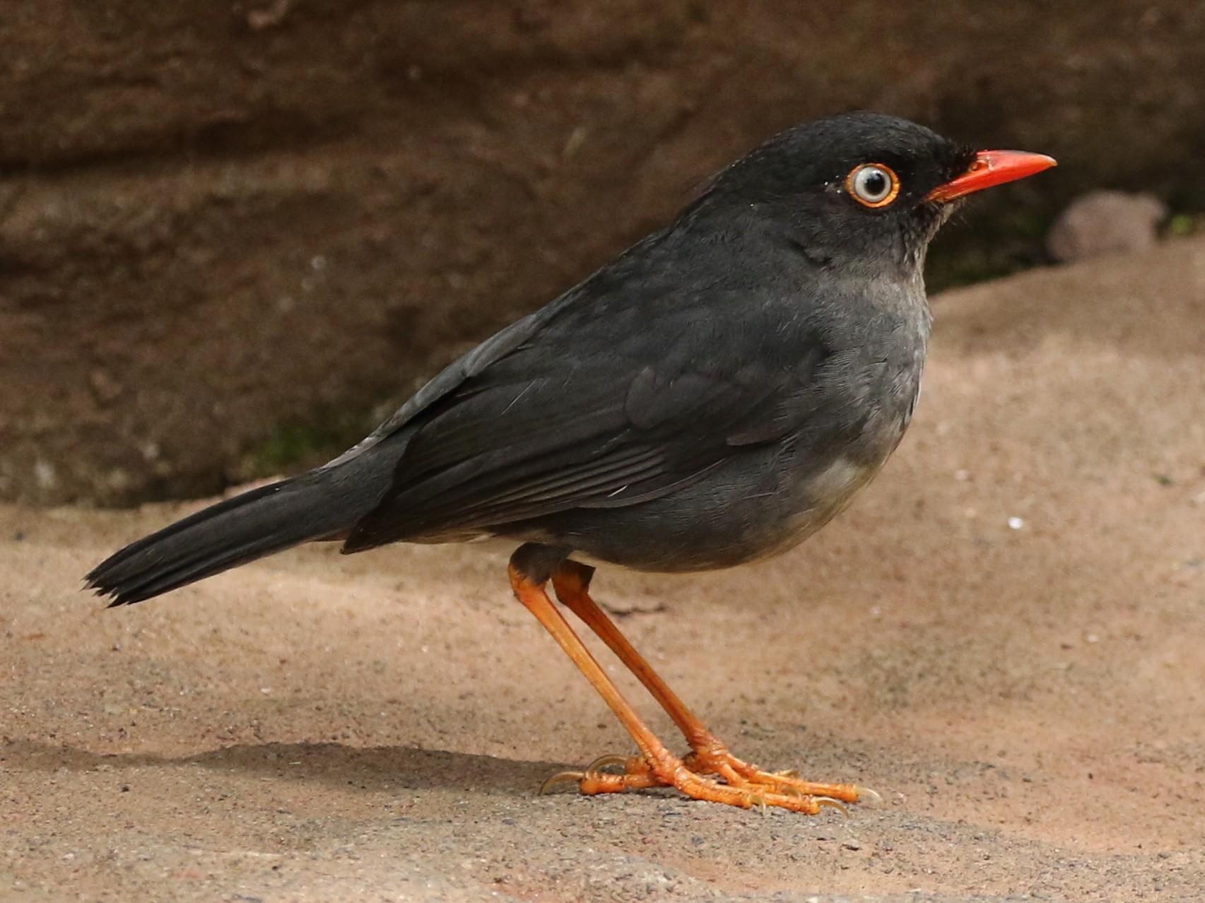 Slaty-backed Nightingale-Thrush - Tom Benson