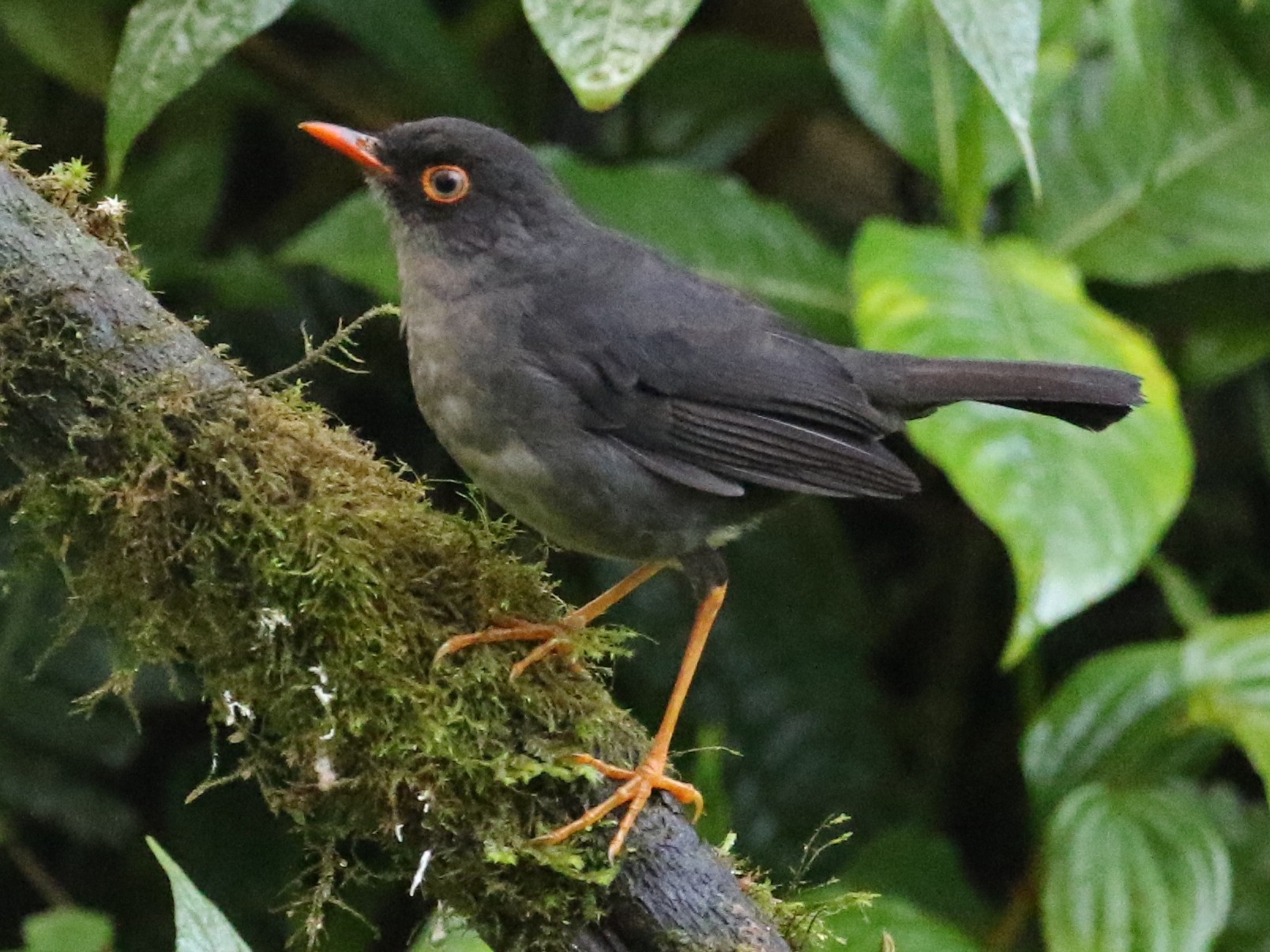 Slaty-backed Nightingale-Thrush - Carol Ortenzio