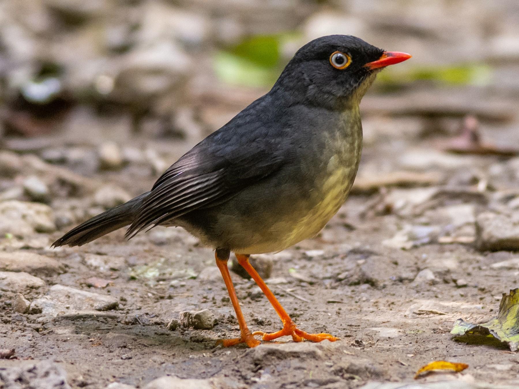Slaty-backed Nightingale-Thrush - Charlie Wright