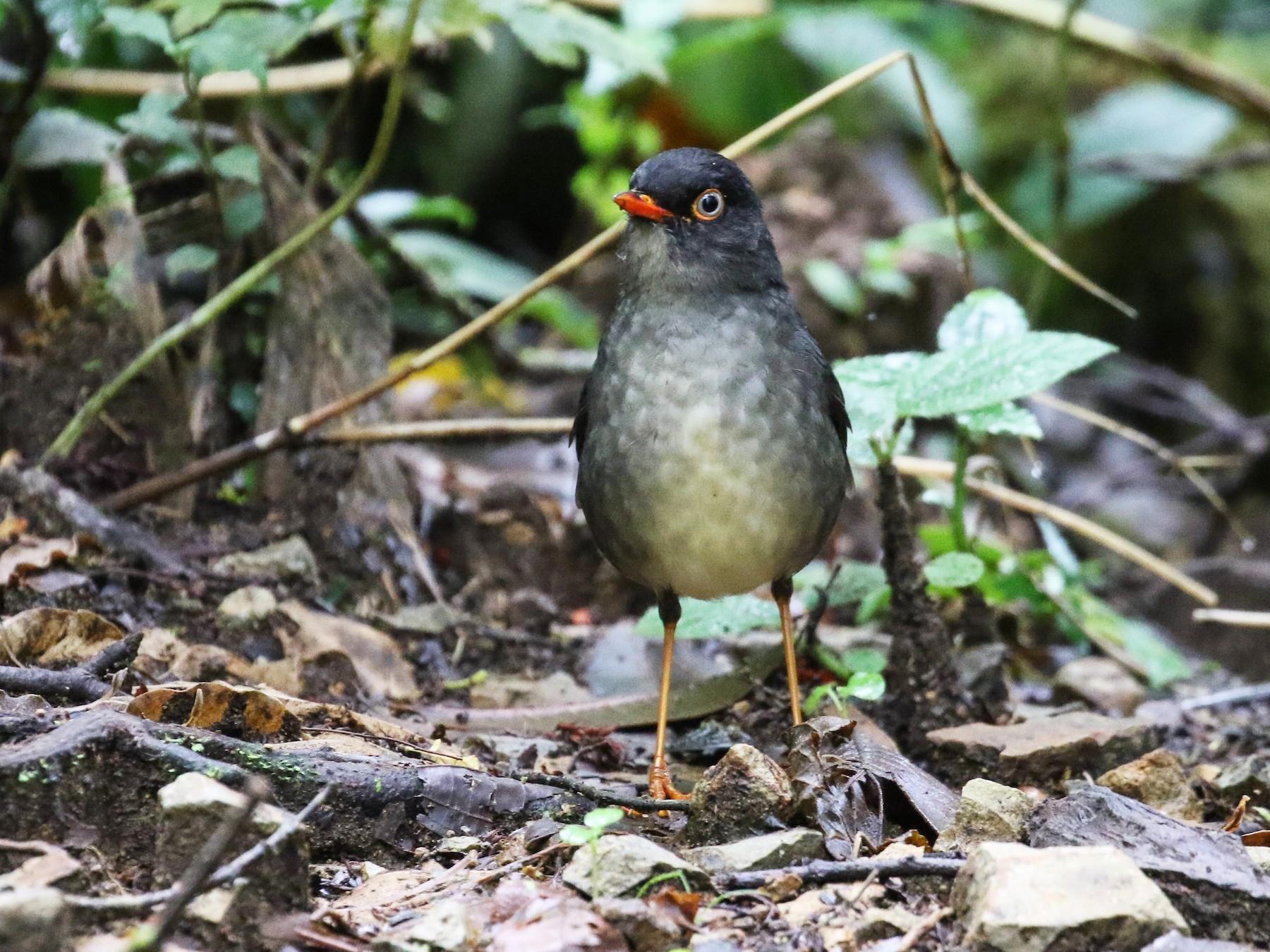 Slaty-backed Nightingale-Thrush - Blair Dudeck