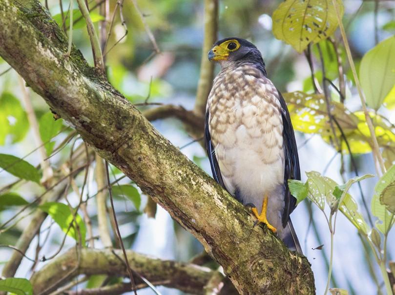 Slaty-backed Forest-Falcon - Yeray Seminario