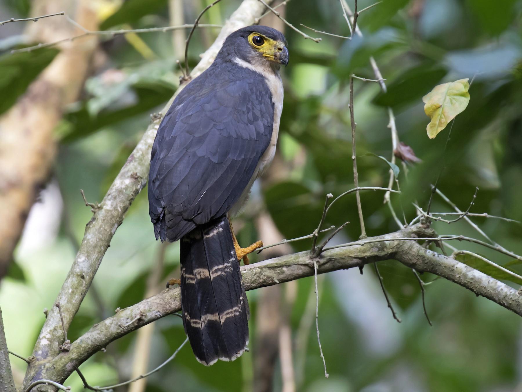 Slaty-backed Forest-Falcon - daniel lopez velasco