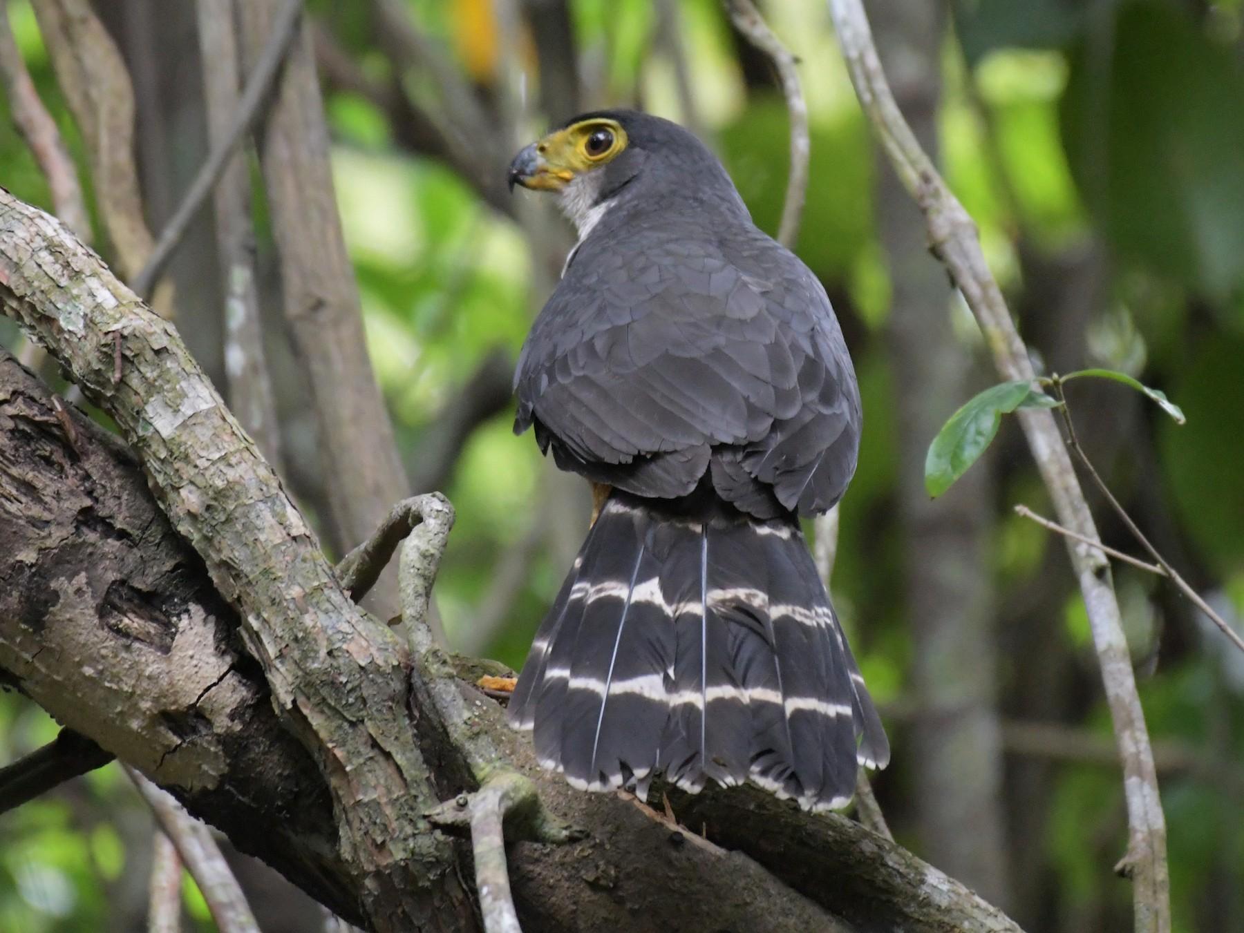 Slaty-backed Forest-Falcon - Paula Theobald
