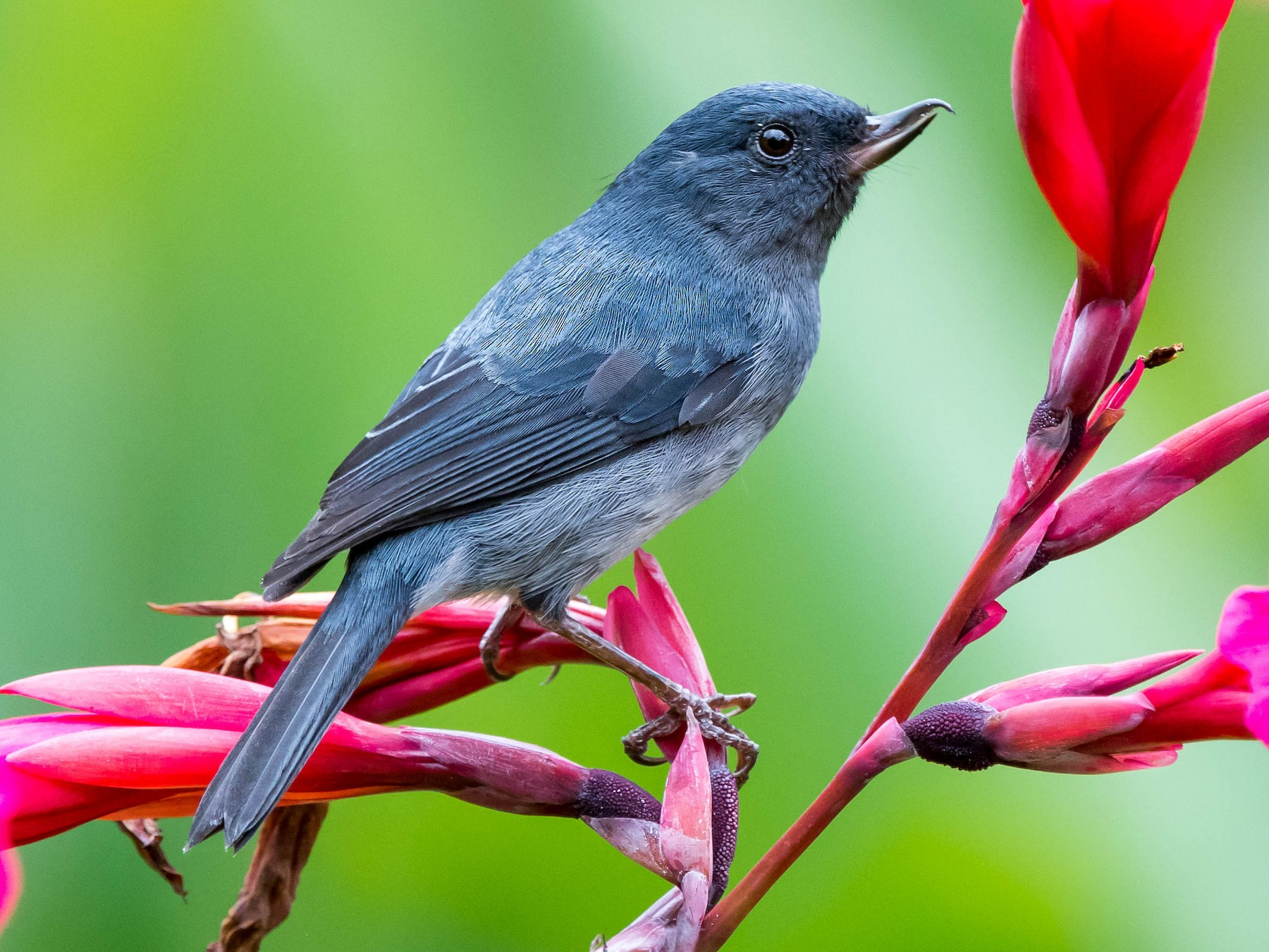 Slaty Flowerpiercer - Melissa James