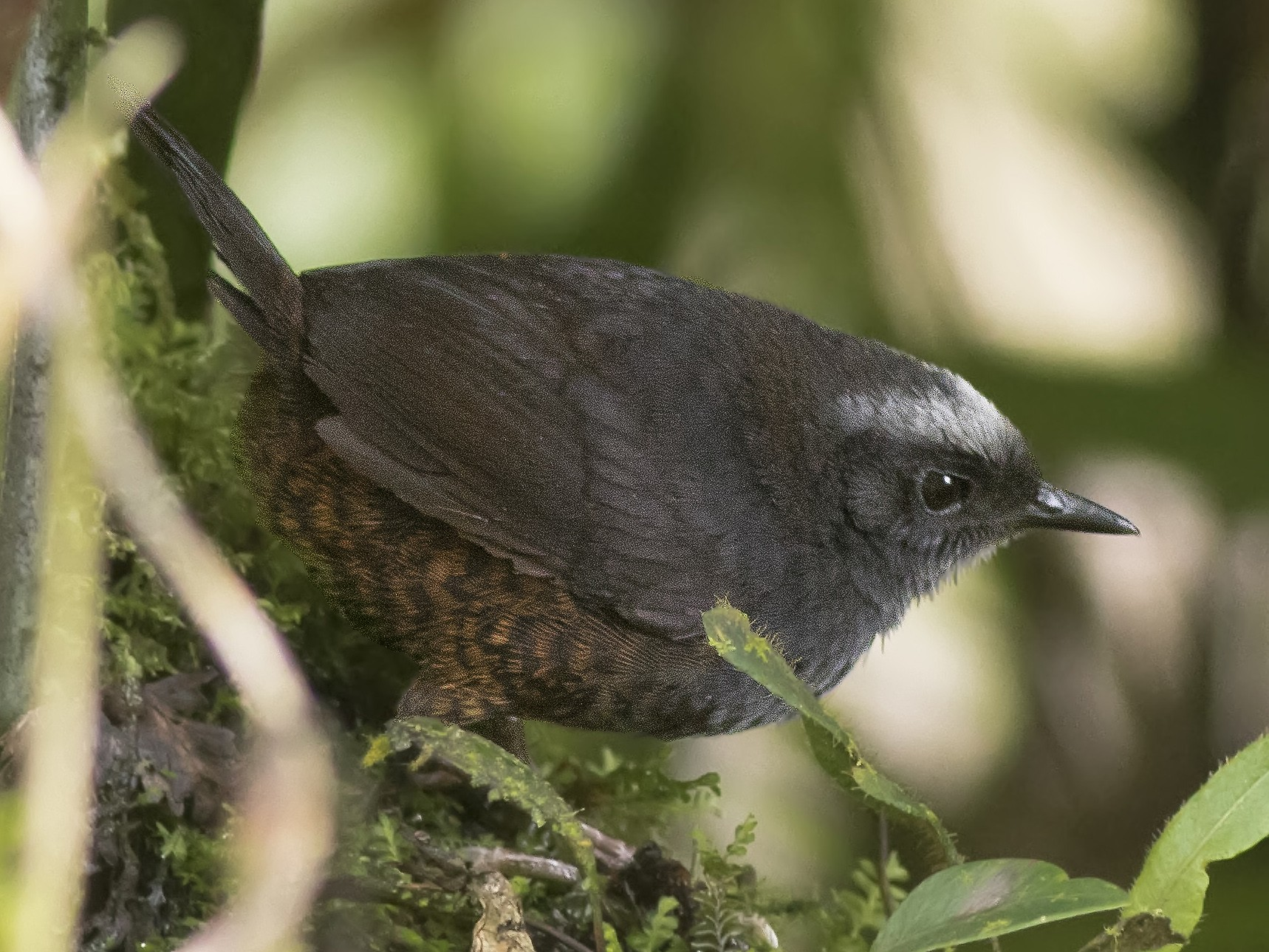 Silvery-fronted Tapaculo - Guillermo  Saborío Vega
