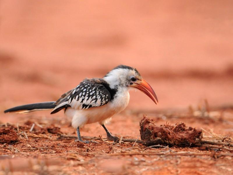 Northern Red-billed Hornbill - Kris Blachowiak
