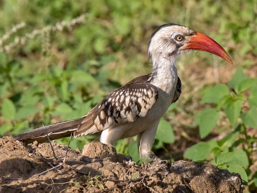 Northern Red-billed Hornbill - Lars Petersson