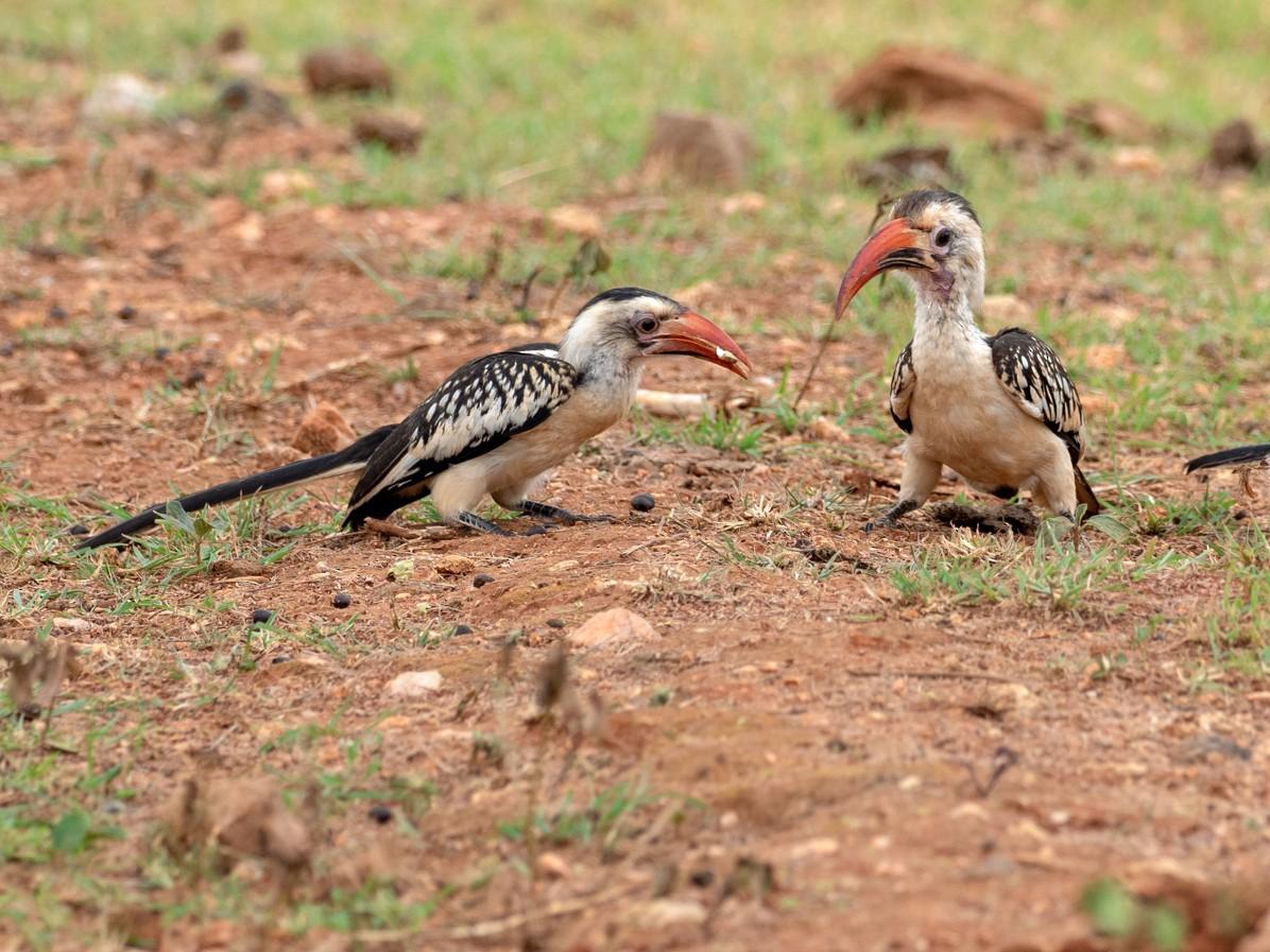 Northern Red-billed Hornbill - Forest Jarvis