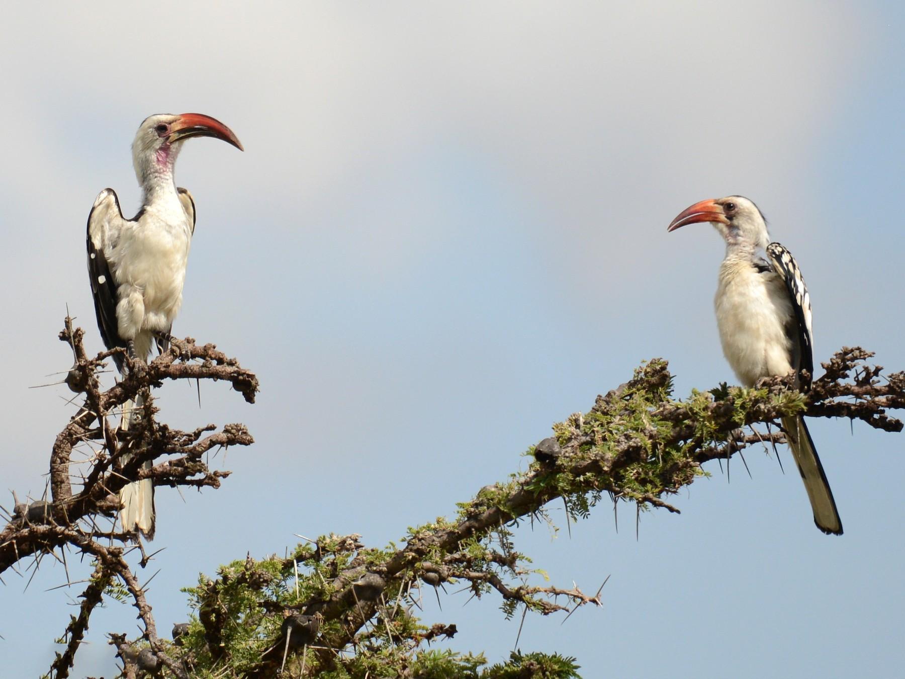 Northern Red-billed Hornbill - Adriana Dinu