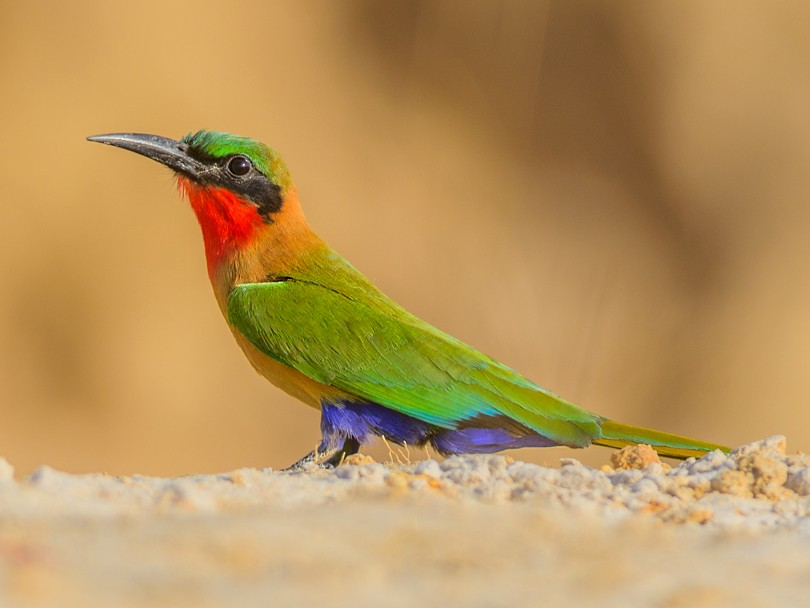Red-throated Bee-eater - Allan Hopkins