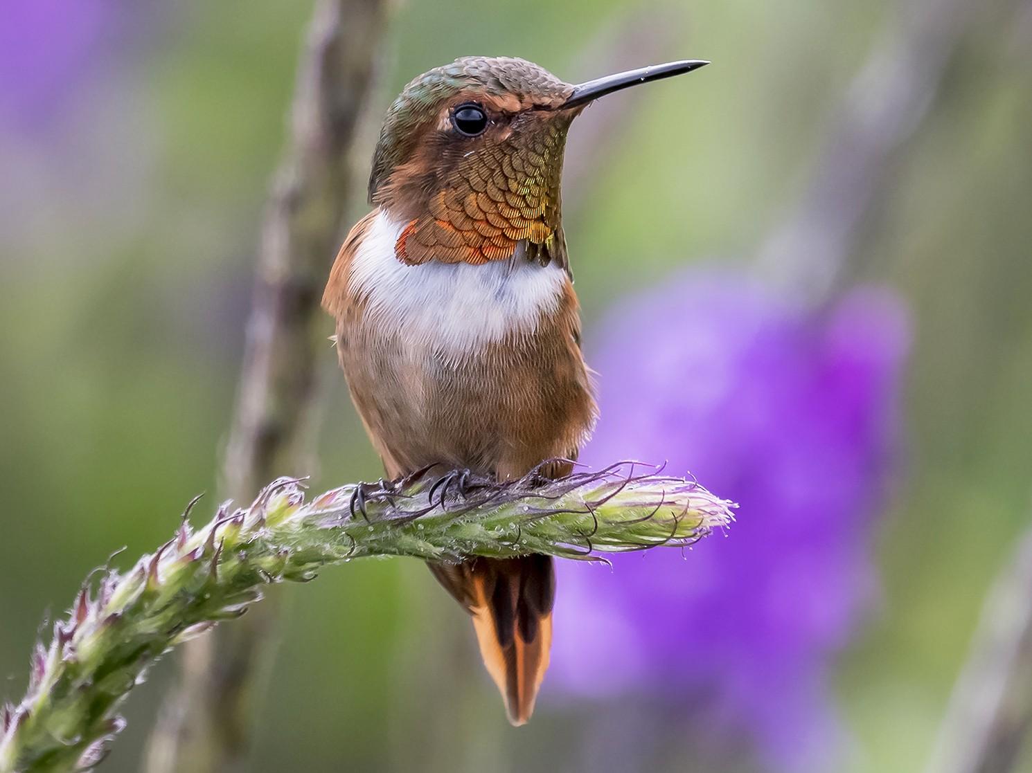 Scintillant Hummingbird - fernando Burgalin Sequeria