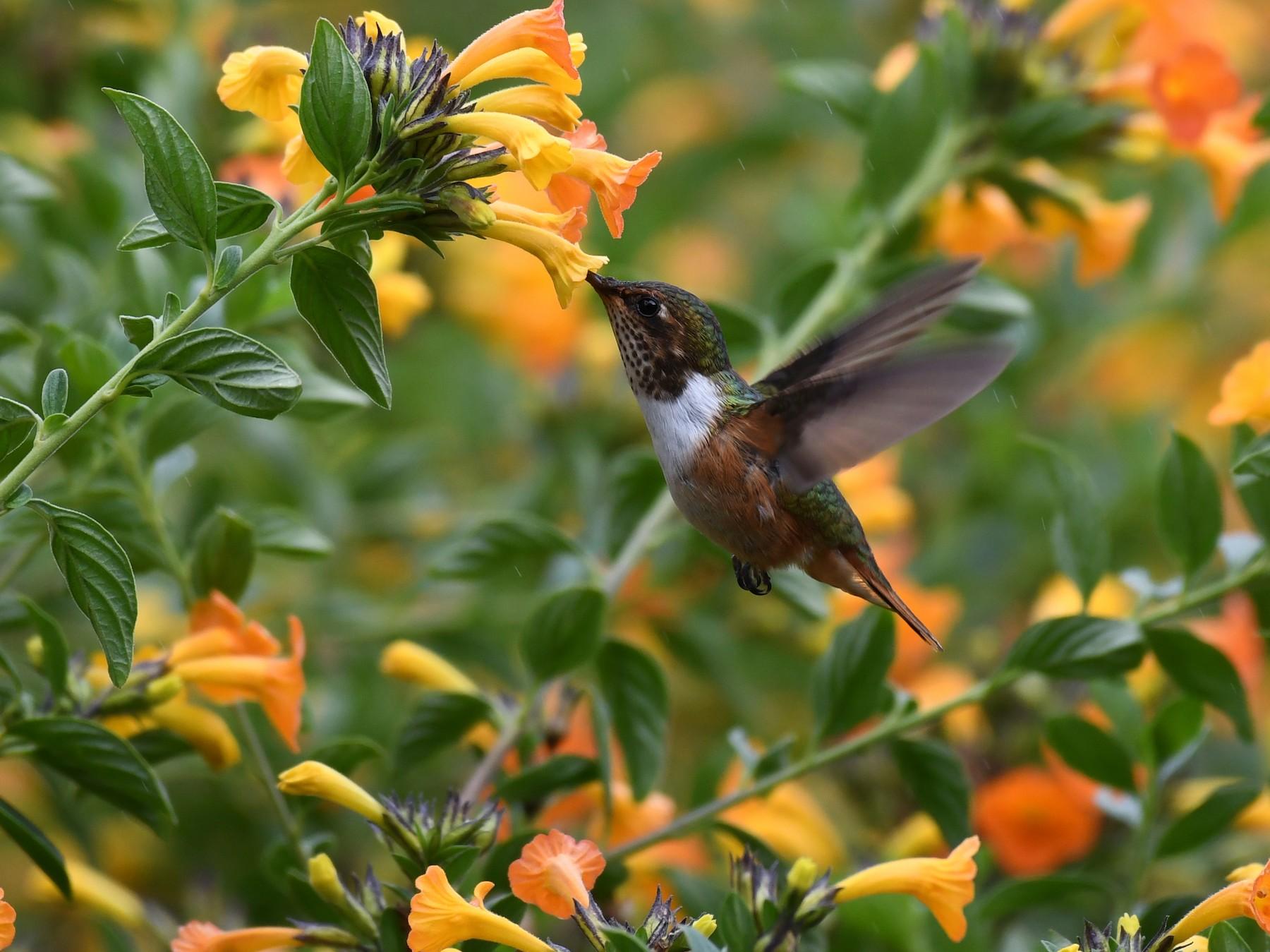 Scintillant Hummingbird - Simon Kiacz