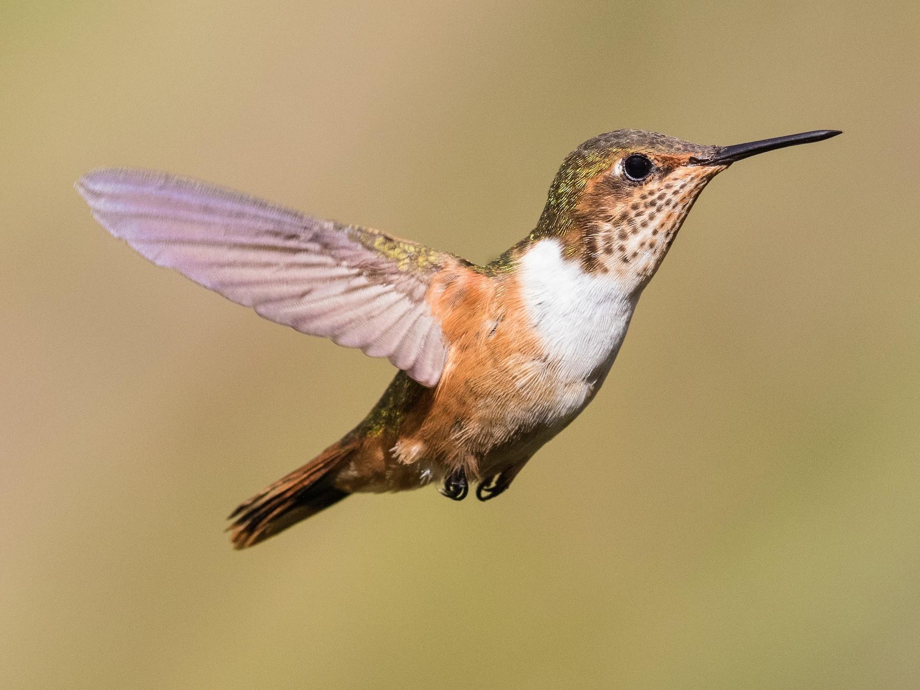 Scintillant Hummingbird - Stefan  Hirsch