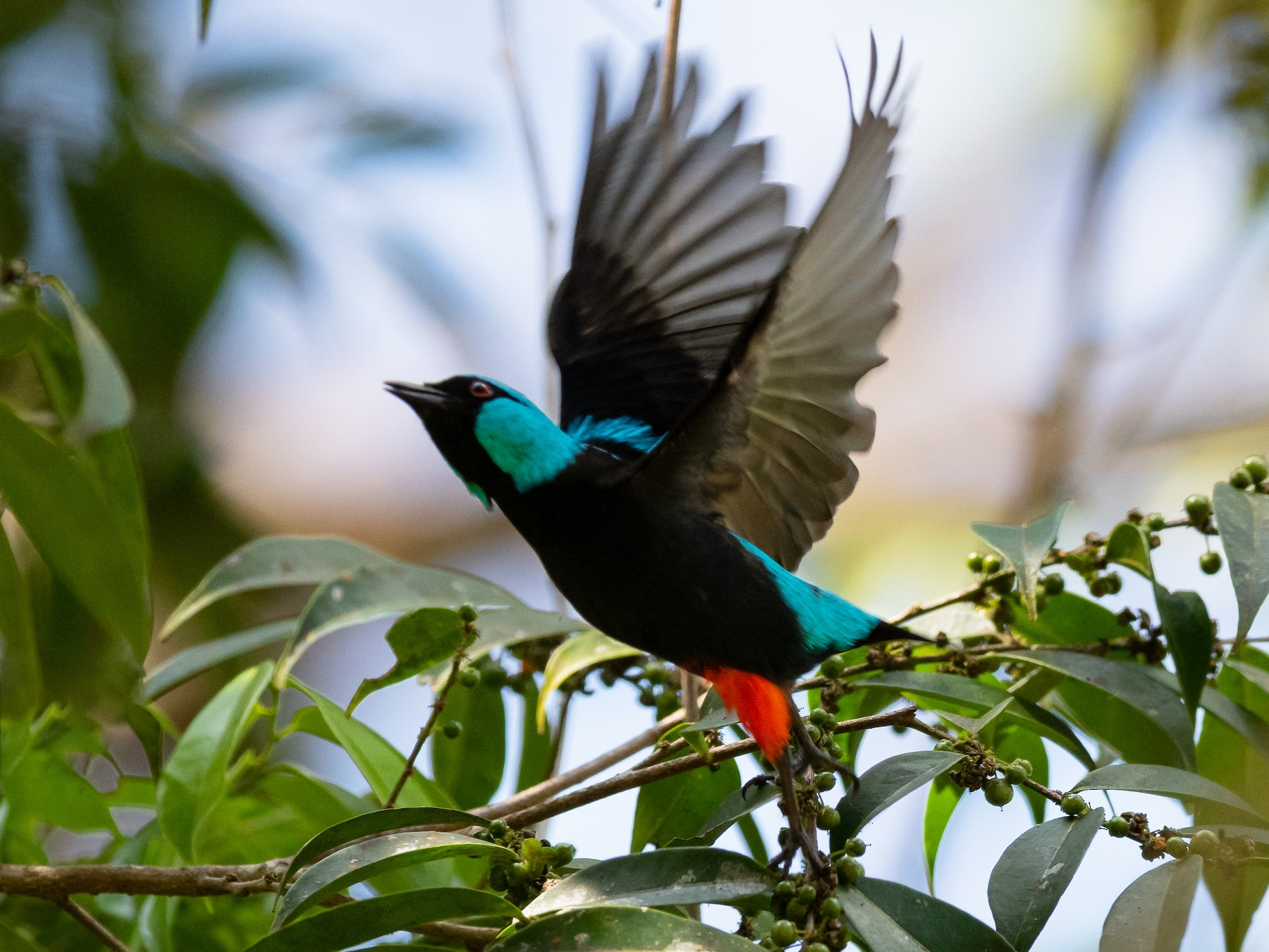 Scarlet-thighed Dacnis - Mathurin Malby