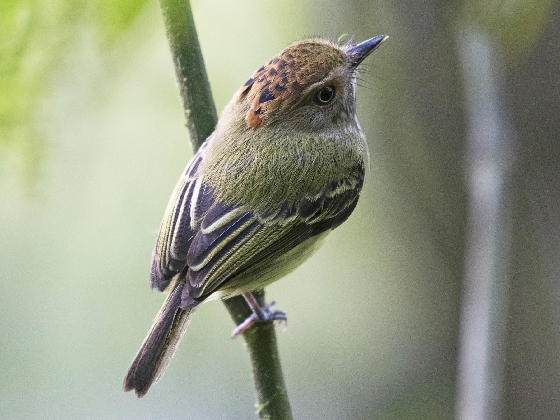 Scale-crested Pygmy-Tyrant - Josanel Sugasti
