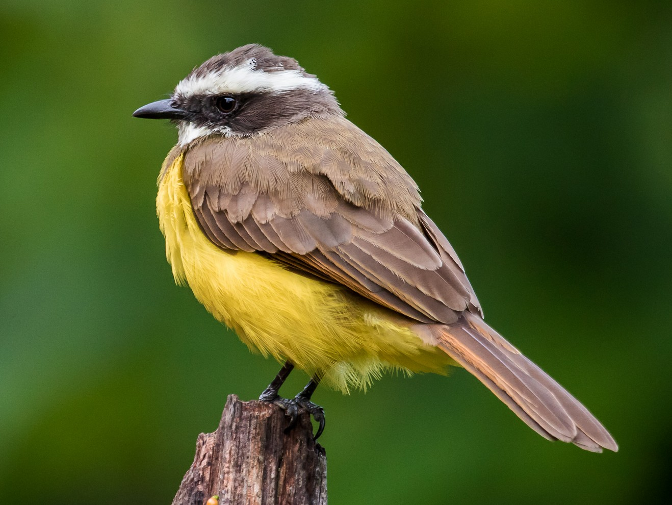 Rusty-margined Flycatcher - David Monroy Rengifo