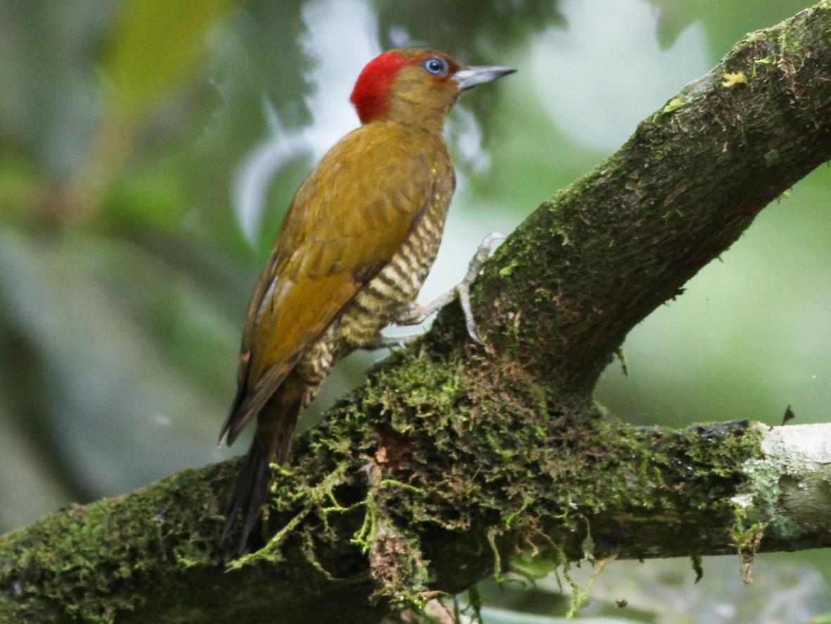 Rufous-winged Woodpecker - Scott Olmstead