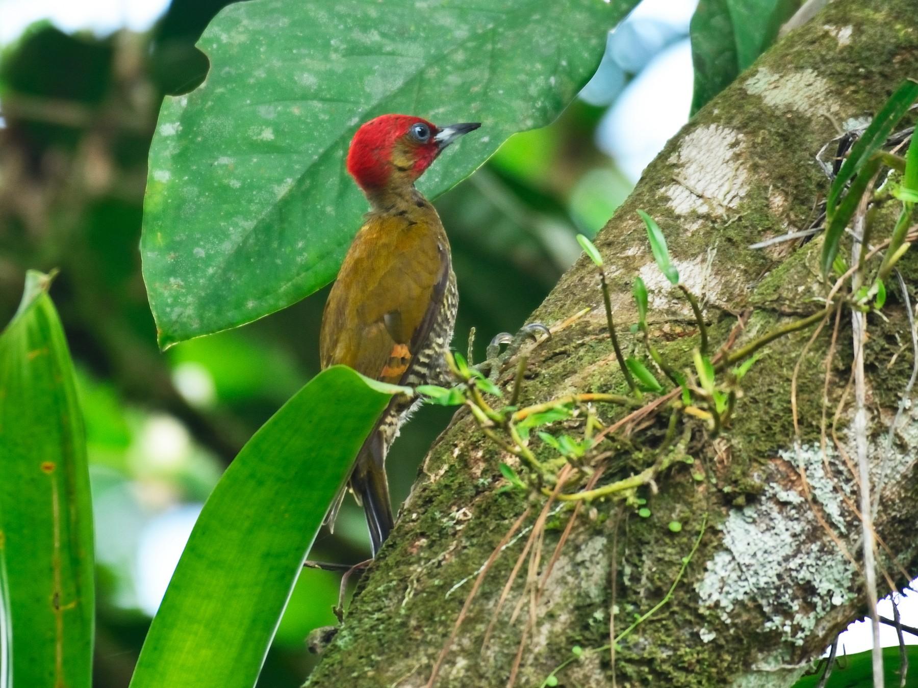 Rufous-winged Woodpecker - Luis Vega