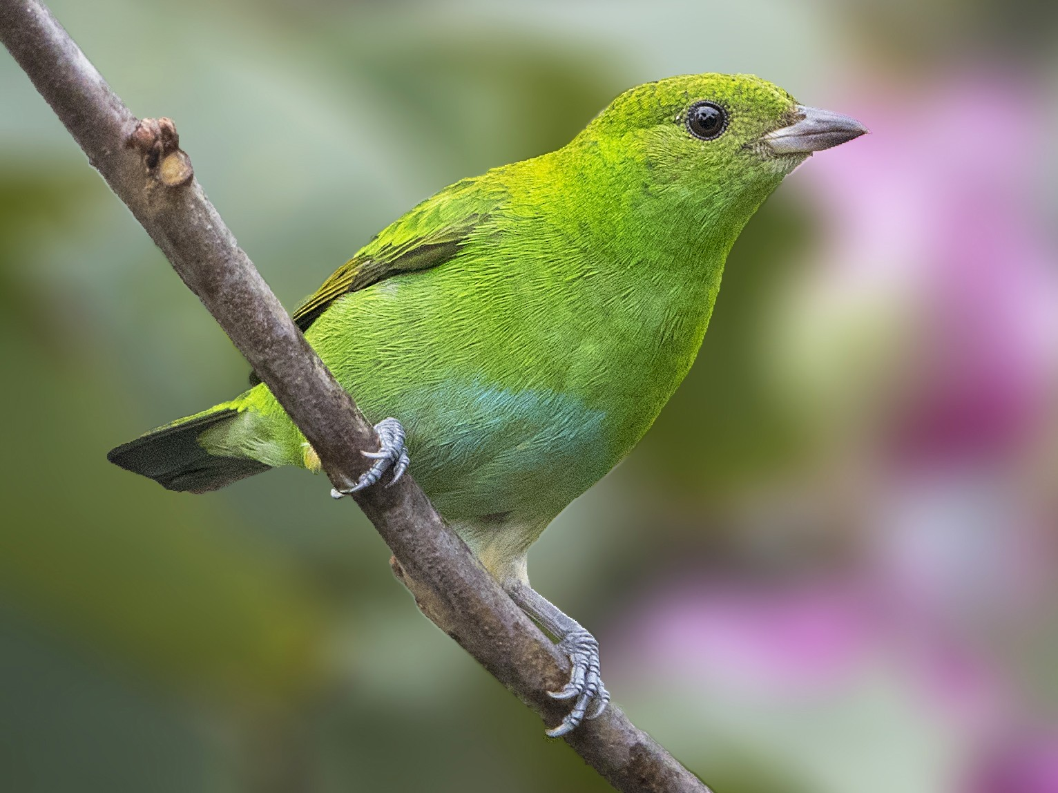 Rufous-winged Tanager - Bradley Hacker
