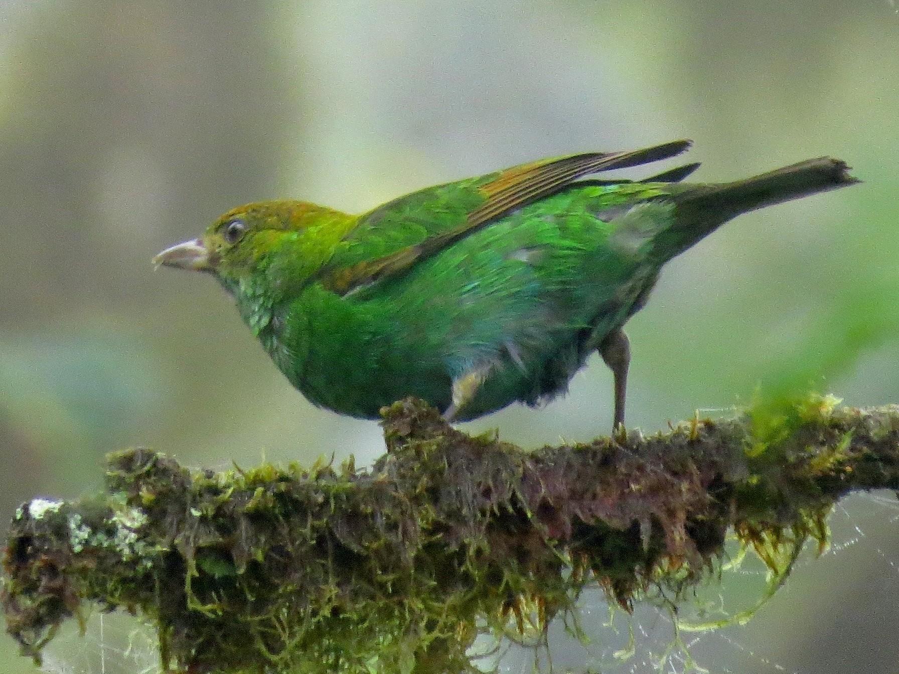 Rufous-winged Tanager - John van Dort