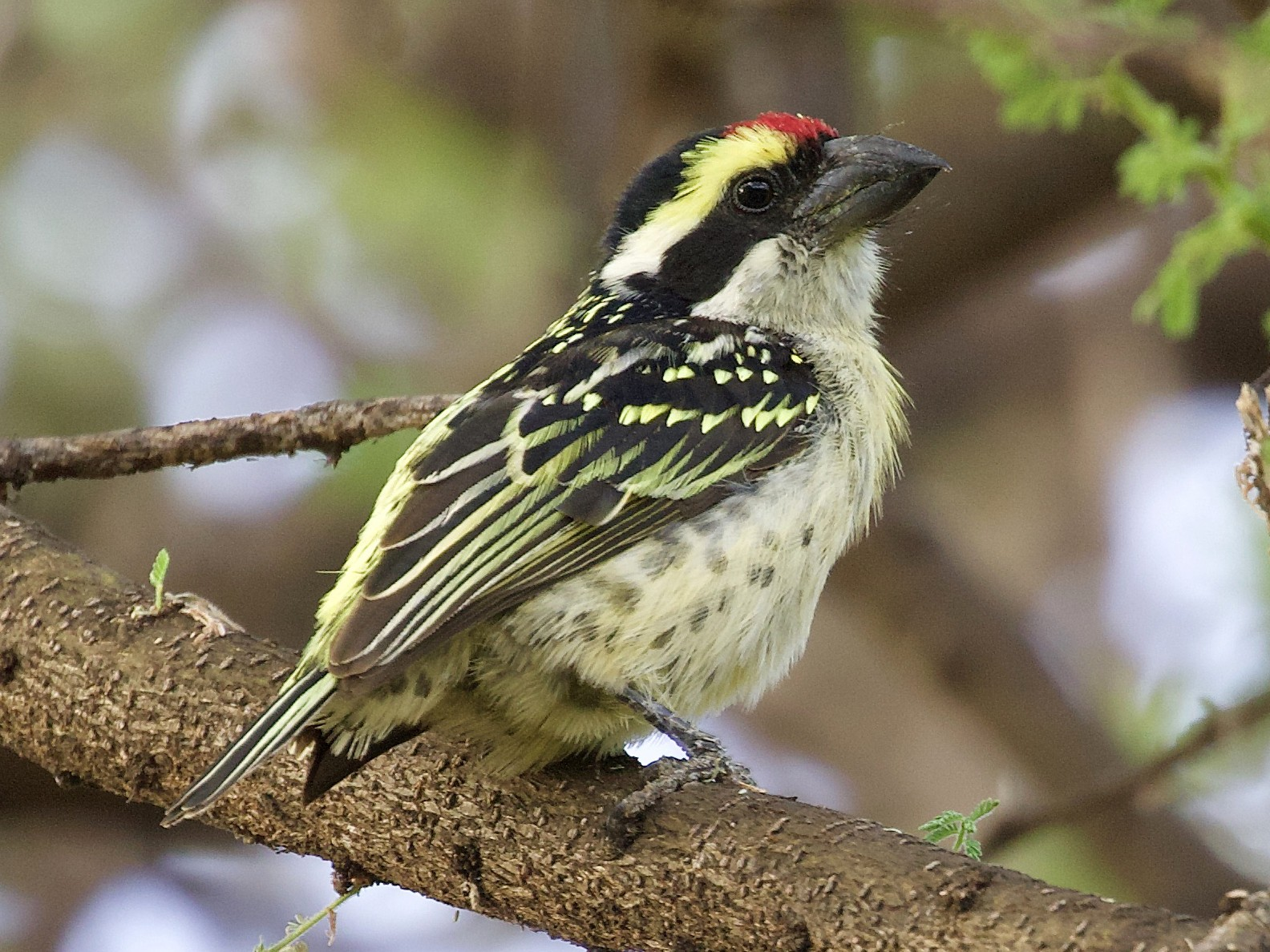 Red-fronted Barbet - Rachel Lawrence