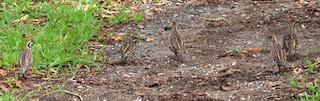 Crested Bobwhite, ML245659141