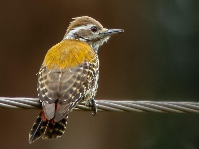 Abyssinian Woodpecker - Neil Paprocki