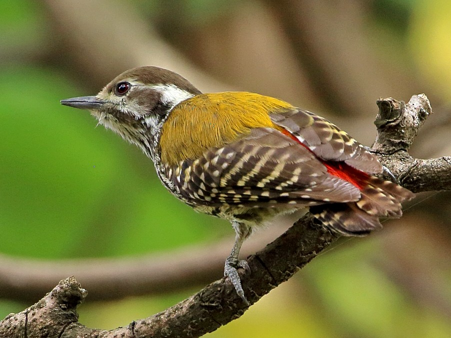 Abyssinian Woodpecker - Attila Steiner