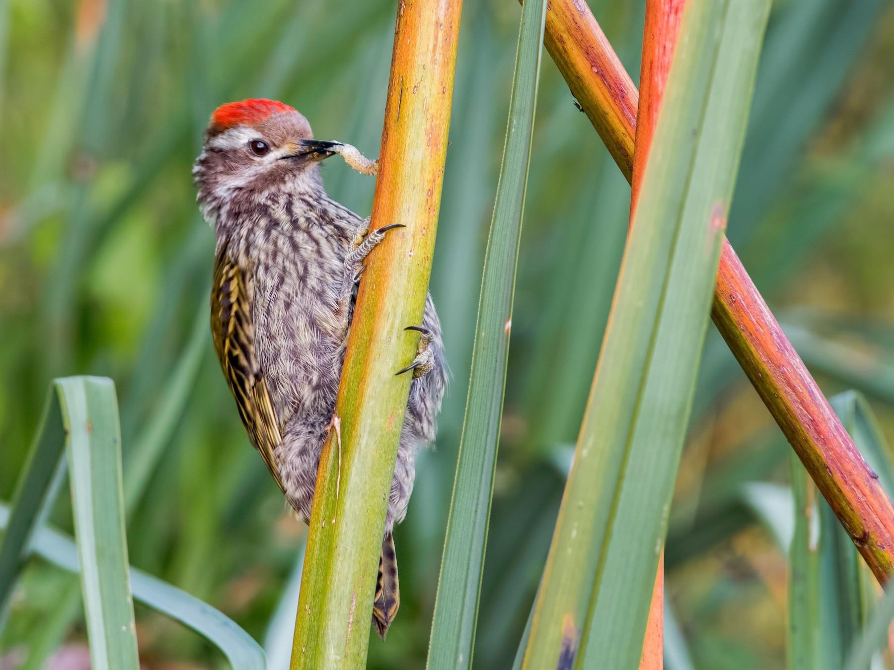 Abyssinian Woodpecker - Shailesh Pinto