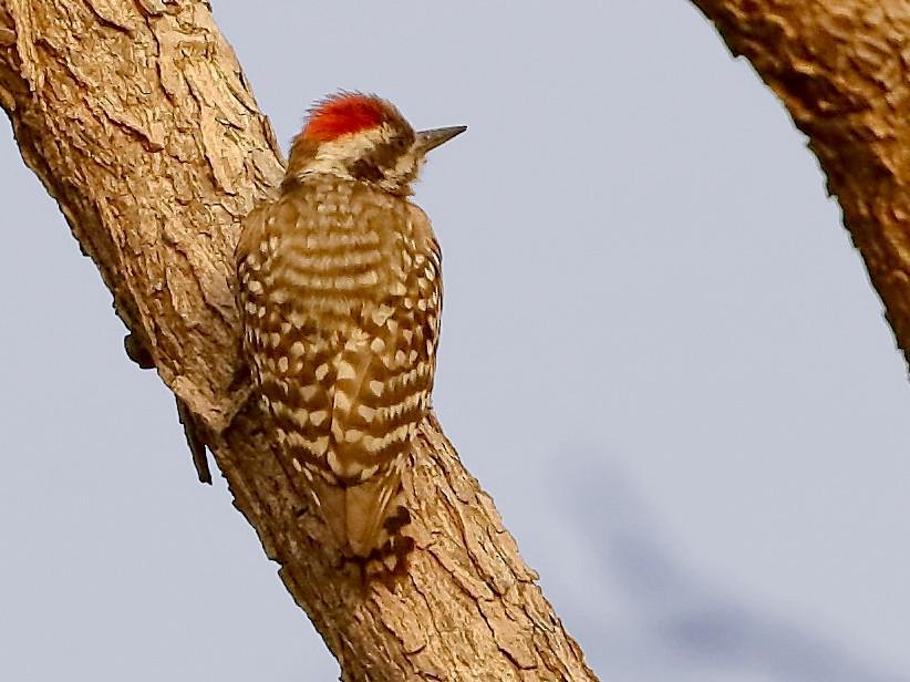 Brown-backed Woodpecker - Markus Lilje