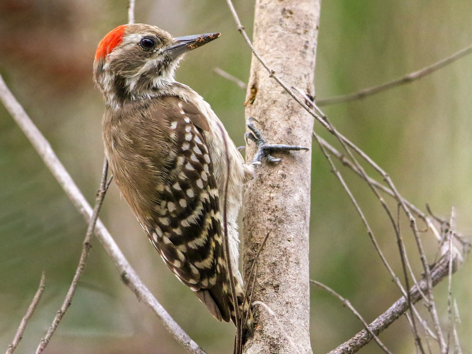 Brown-backed Woodpecker - Andrew Spencer